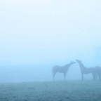 Horses-in-the-Fog.jpg
